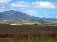 パイナップル畑200.jpg